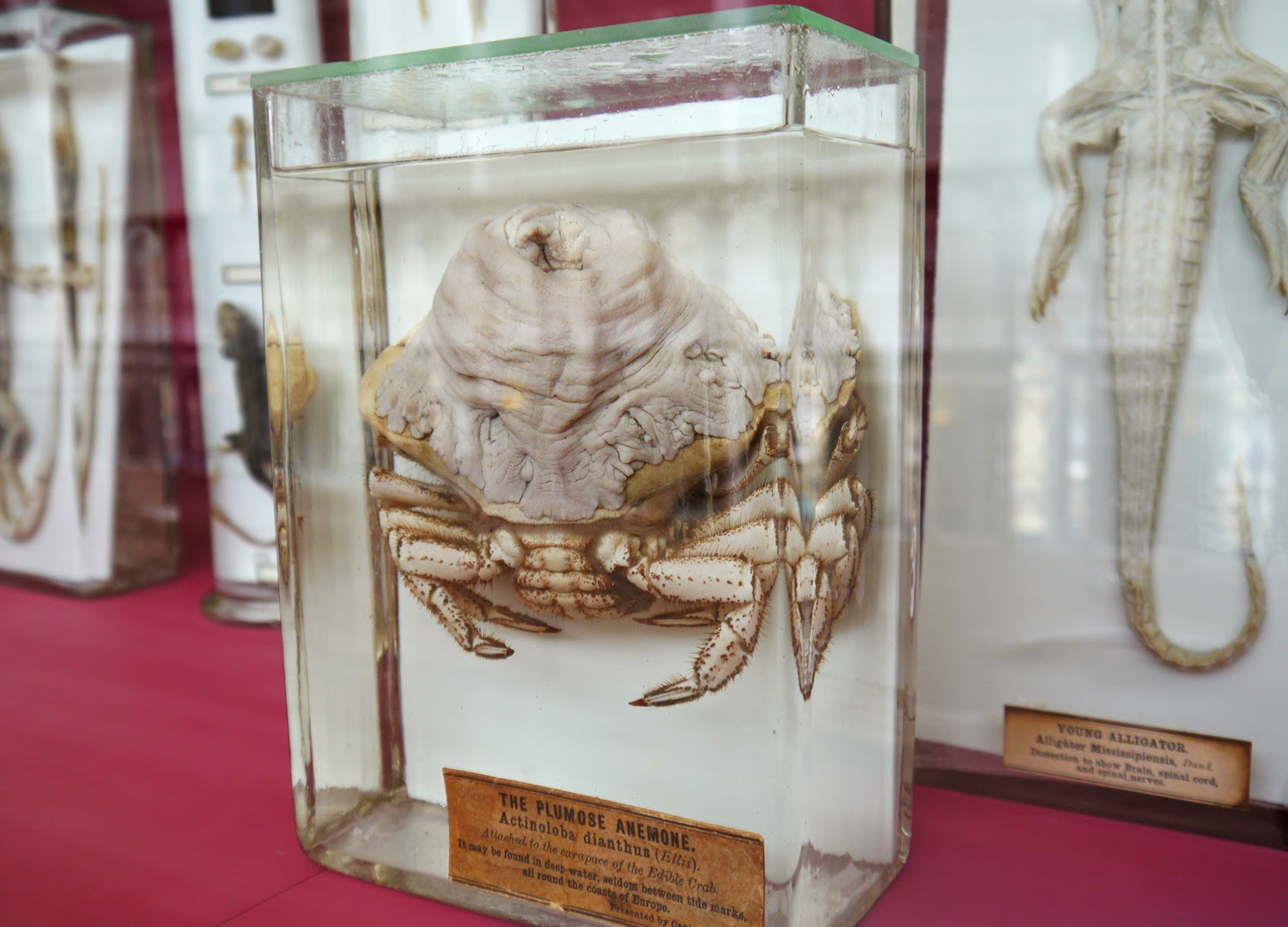 national museum, scotland, animal land, crab, lobster, crustacean, taxidermy, biology, natural history, Edinburgh, weird
