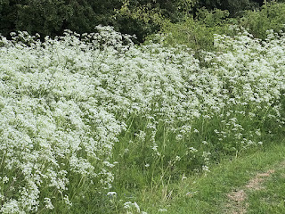 Bank of Cow parsley