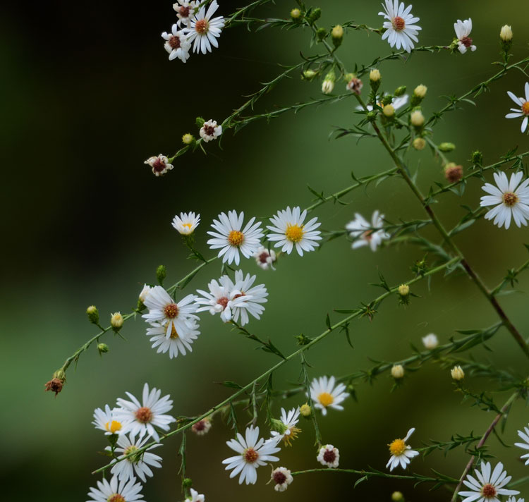 ...small white asters at the peak of their blooming season, glow in the evening shadows along the wet edges of the Little Miami Trail.