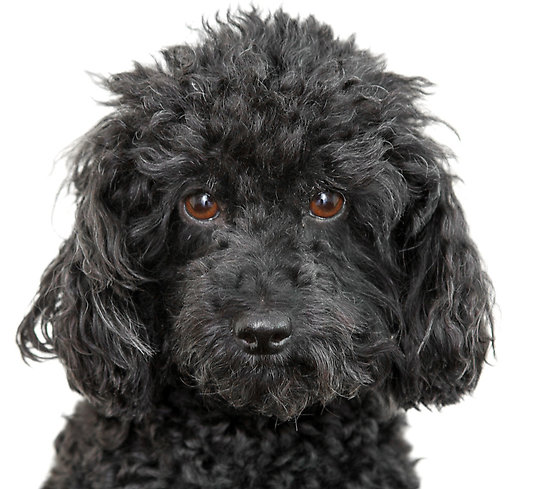 Animals Zoo Park: Toy Poodle Dog Pictures, Poodle Dog Pics