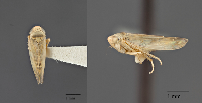 Two views of a beet leafhopper