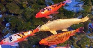 cara budidaya iakan, memelihara ikan koi bagi pemula,koi di kolam terpal,koi di aquarium,koi supaya cepat besar,kolam terpal,kolam tanah,kolam tembok,di kolam,