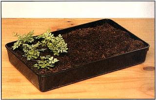 Месяц или два спустя должны появиться собственно растения папоротника