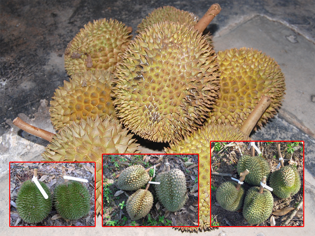 durian info durian varieties in malaysia. Black Bedroom Furniture Sets. Home Design Ideas