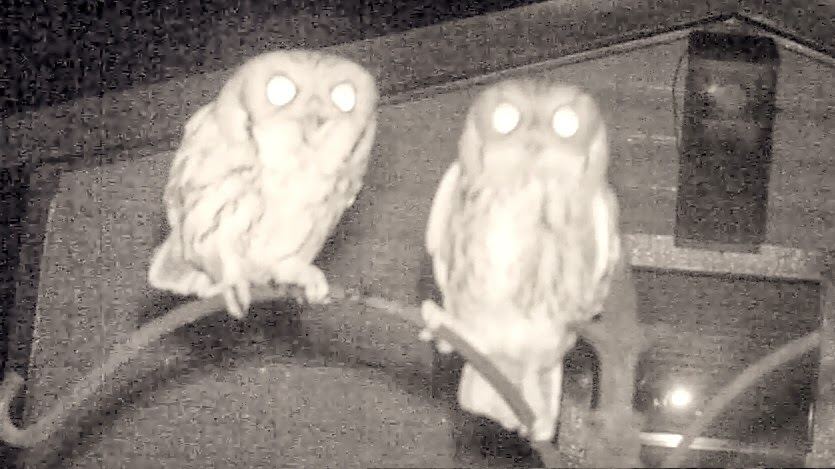 Eastern Screech Owls Mating and Calling