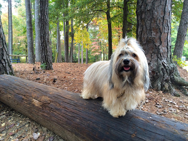 Rocco Havanese dog balancing on a log