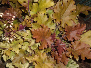 HEUCHERA MAHONEY.