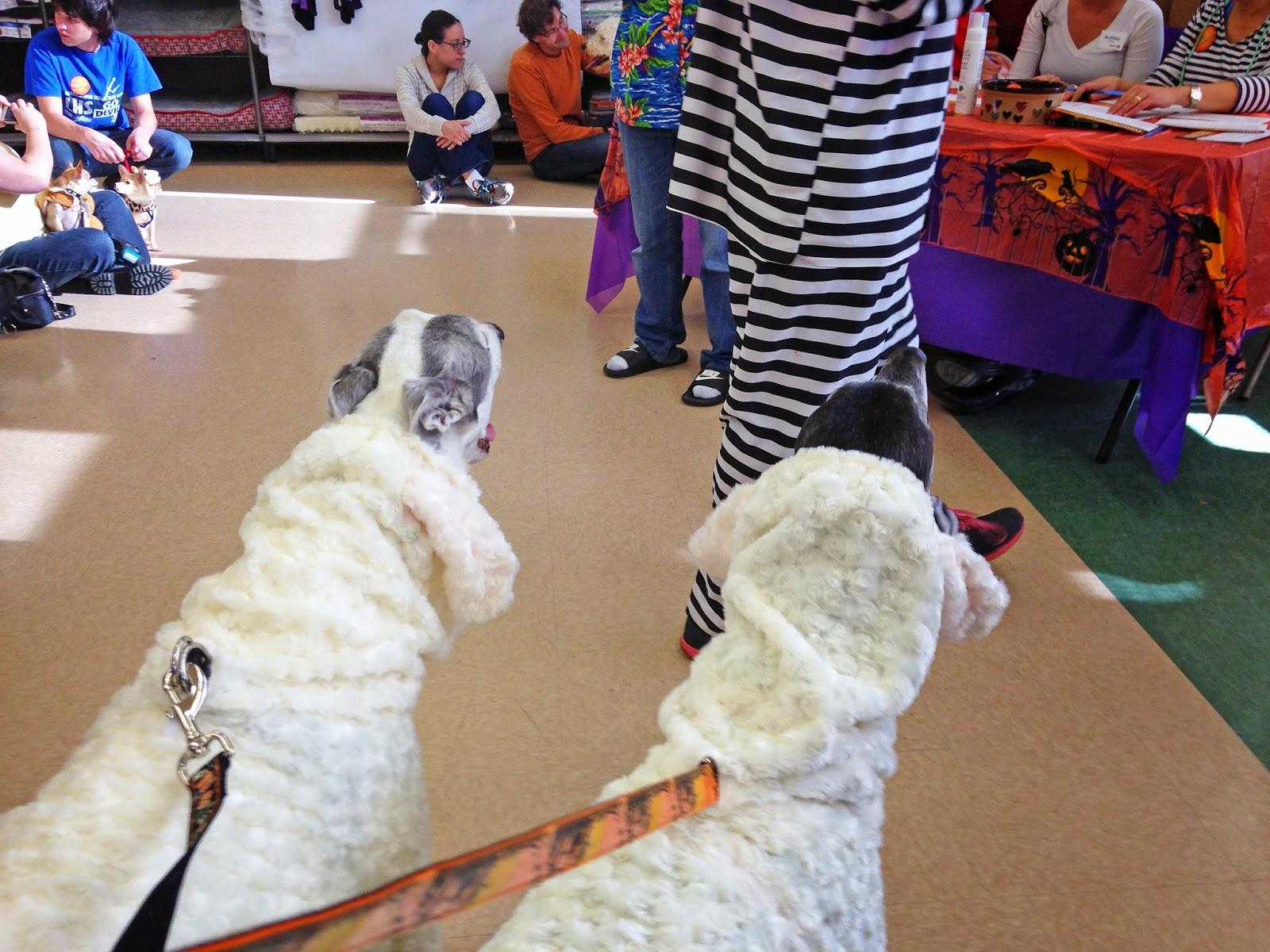 Blue and Bettina Greyhound as Sheep