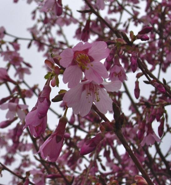 My weeds are very sorry trees i will miss it was cercis reniformis oklahoma with waxy shiny heart shaped leaves that were as interesting as its spring flower mightylinksfo