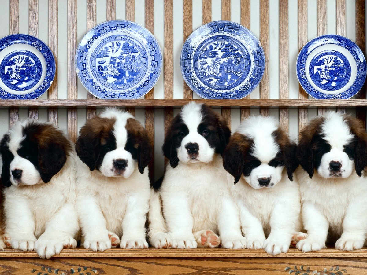 St. Bernard Puppies high resolution widescreen