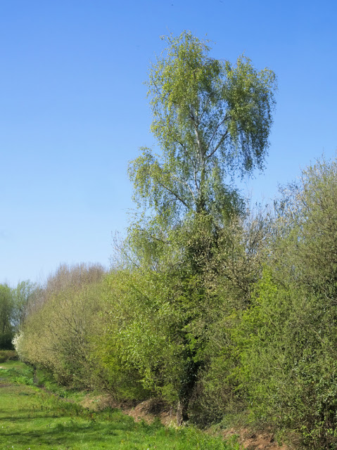 Silver birch tree towers over a hedge by Dickerson's Pit