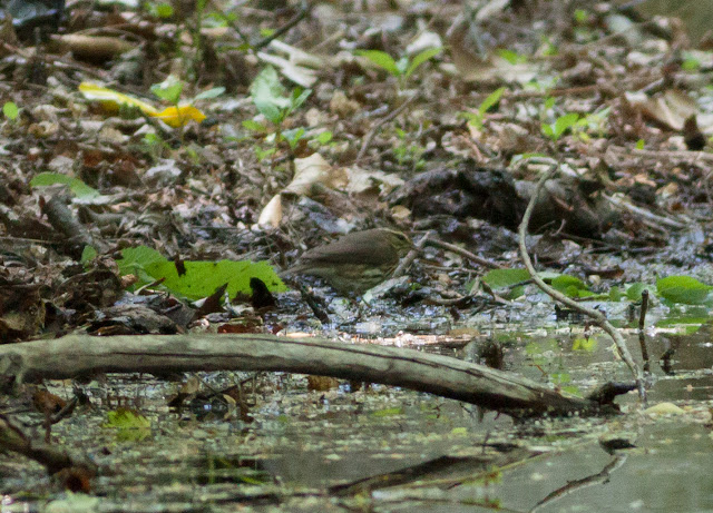 Northern Waterthrush - Prospect Park, New York