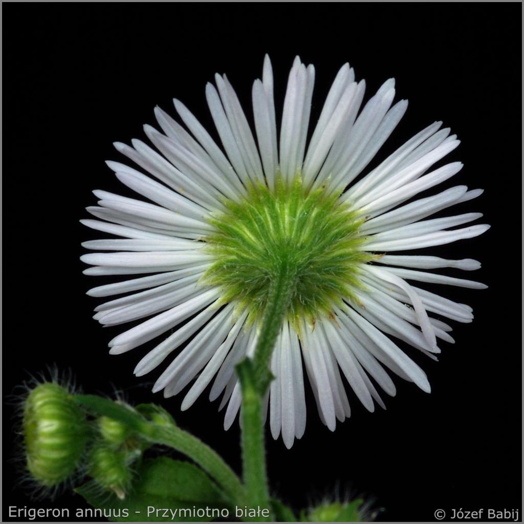 Erigeron annuus flower  - Przymiotno białe kwiat z tyłu