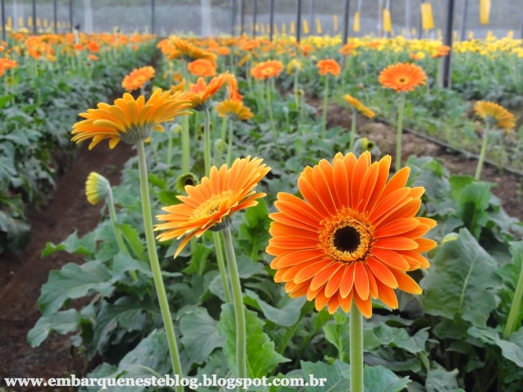 Cultivo de gerberas em Holambra