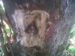 Pohon Setelah di inokulasi
