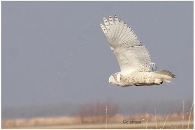 Snowy owl in flight at night - photo#26
