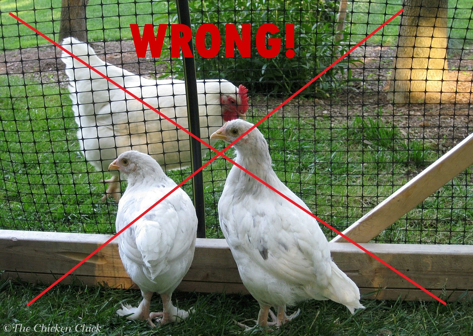 the chicken chick quarantine of backyard chickens when and how