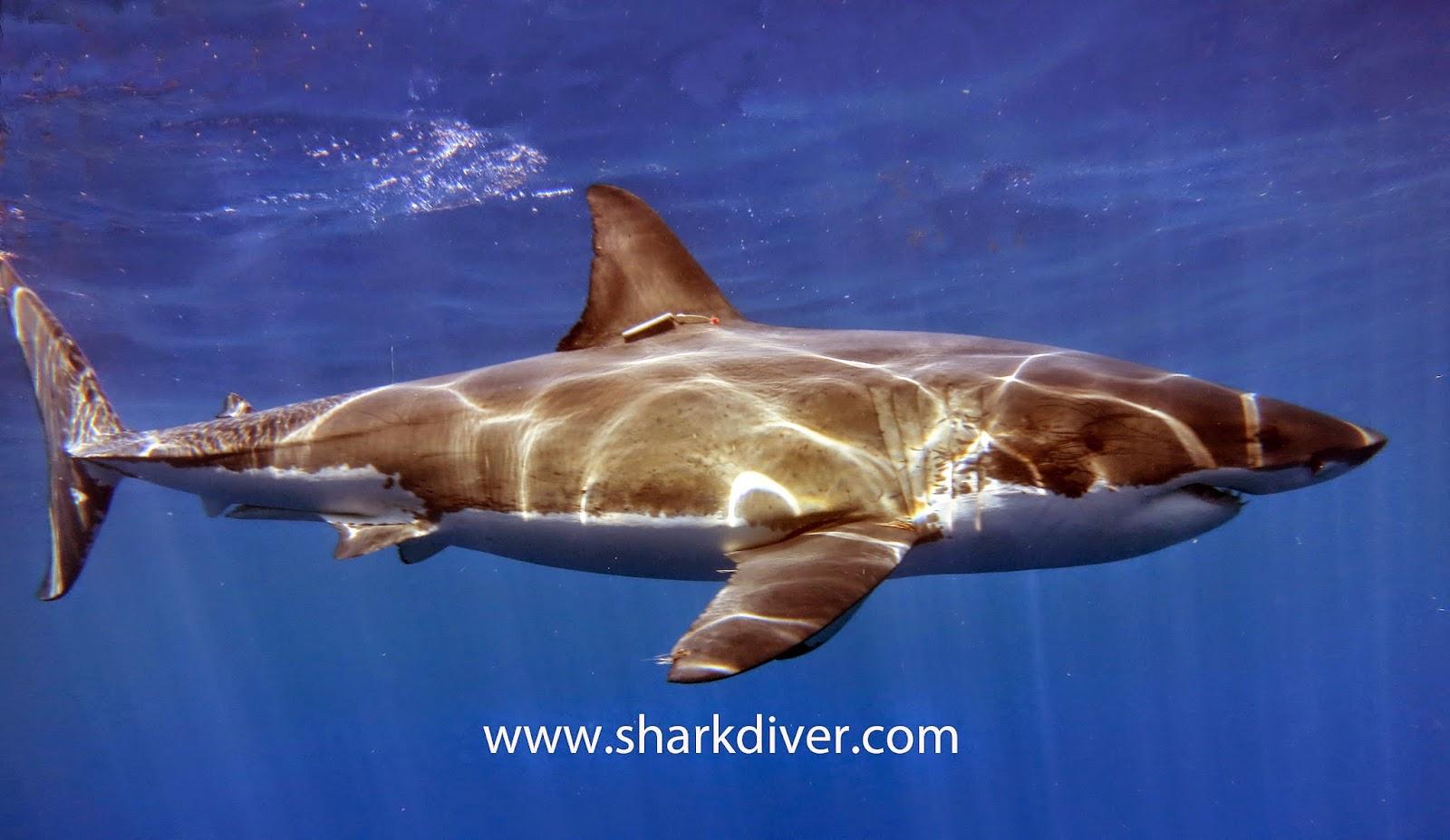 Compare Bull Shark vs Tiger Shark