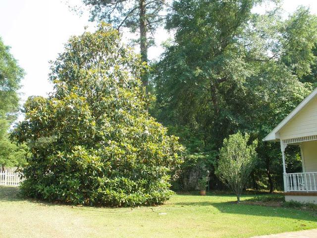 magnolia tree facts. southern magnolia tree facts. southern magnolia tree facts. have a Southern Magnolia,;; southern magnolia tree facts. have a Southern Magnolia,;