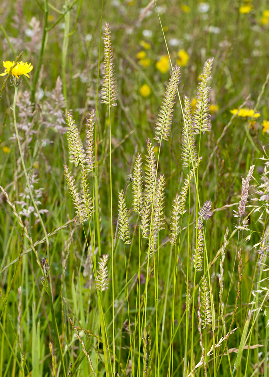Meadow Foxtail, Alopecurus pratensis.  Orpington Field Club trip to Lullingstone Country Park, 14 June 2014.