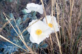 prickly poppy, Argemone polyanthemos, western Nebraska