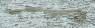 Dog-faced Watersnake (Cerberus rynchops)