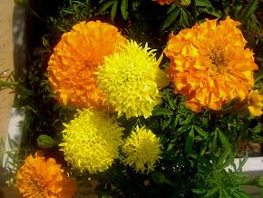 Cravo Amarelo (Orig. Mexicana)