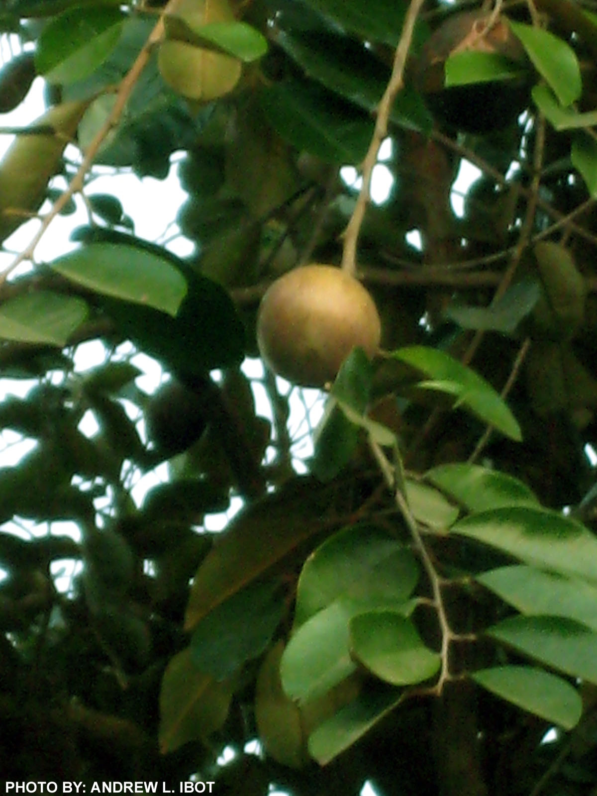 Kaymito Fruit