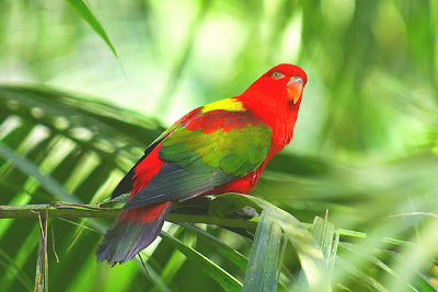 Chattering Lory Bird Pictures
