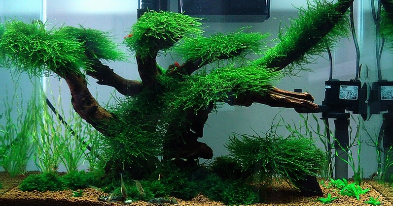 Aquascaping ideas low maintenance moss tree layout for Low maintenance fish tank