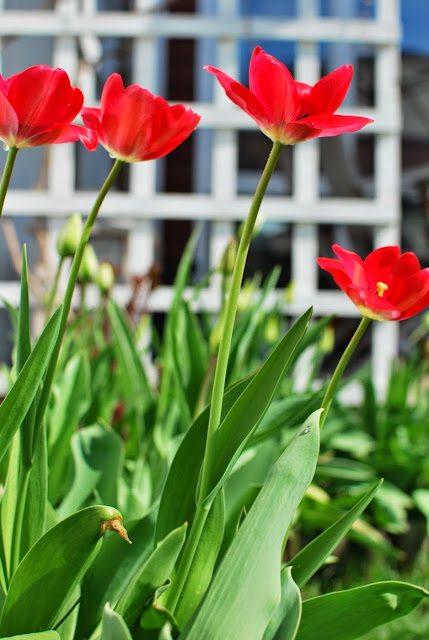 Muonamiehen mökki - Punaiset tulppaanit