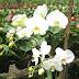 Manfaat Bunga Kemuning untuk Pengobatan Tradisional