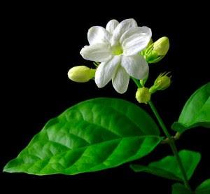 Bunga Melati untuk Perawatan Kulit