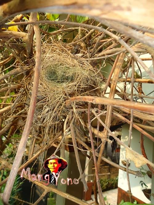 Sarang burung pi'it / pipit dari rumput kering dan sabut kelapa