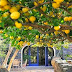 the mystique of a lemon tree