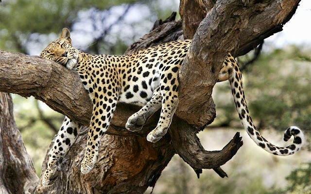 animals_leopard_wallpaper_hd_1
