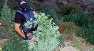 Asgjesohen 1660 rrënjë kanabis në Shkodër