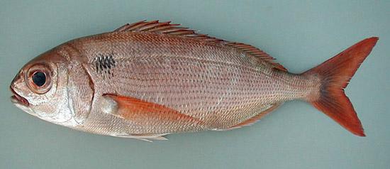Pancho informaci n fon fishing - Fotos de peces del mediterraneo ...