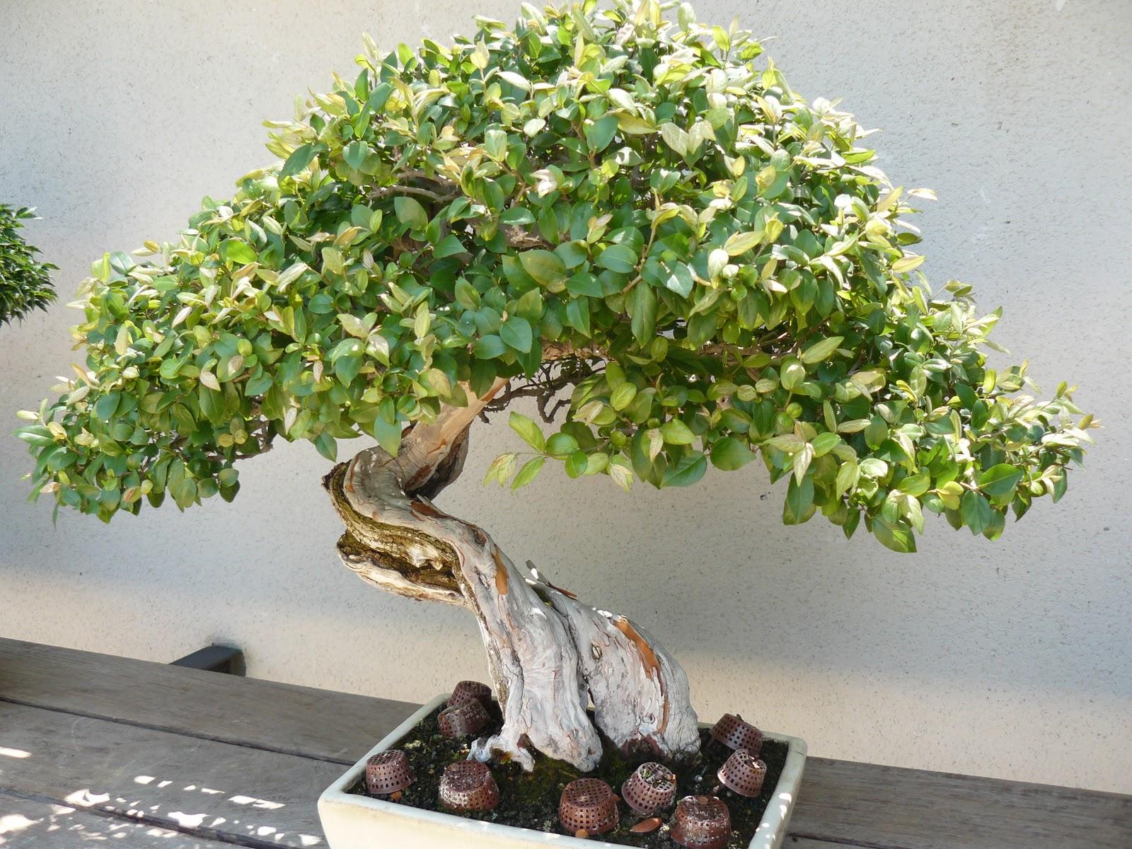 Cuidados de un rbol bons i explicacion taringa - Tierra para bonsais ...