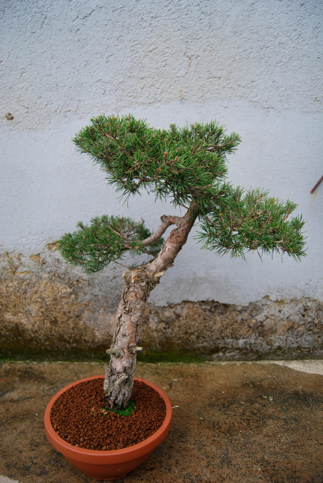 Pepeyote en bonsai for Bonsai costo