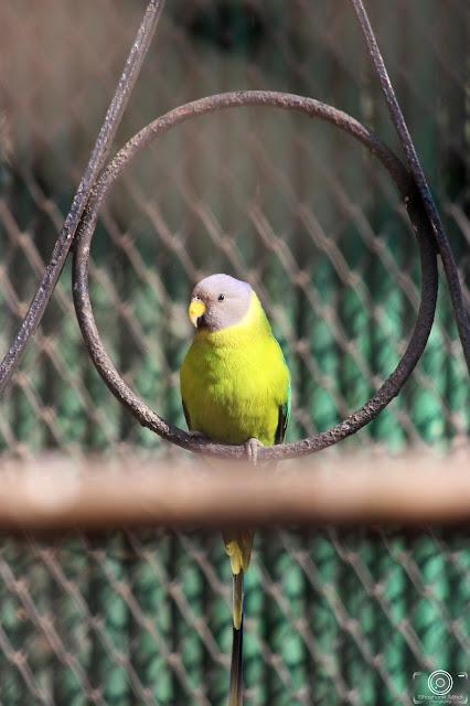 Slaty-Headed Parakeet By Shashank Mittal Photography, Slaty-Headed Parakeet, Shashank Mittal Photography, Shashank Mittal Photography, Shashank, Mittal, Photography, Shashank Mittal, Photography