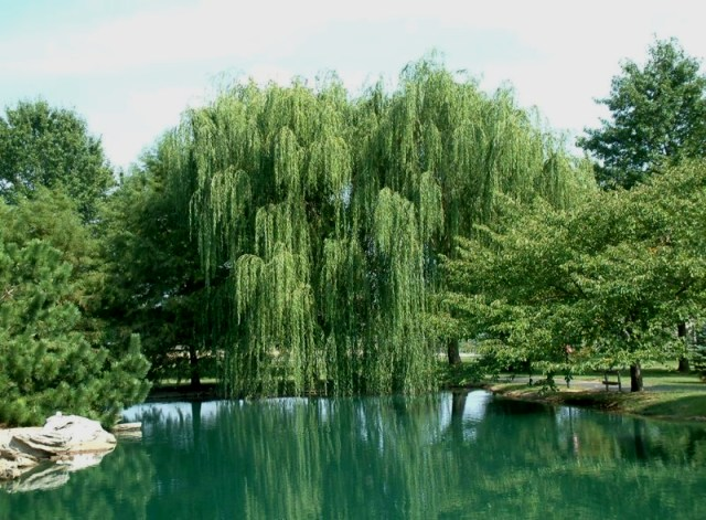 Fahredin Shehu A Weeping Willow