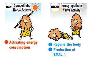 daytime sympathetic nerves are active, activating energy consumption. Nighttime parasympathetic nerves are active, fixing and repairing the body and generating BMAL-1