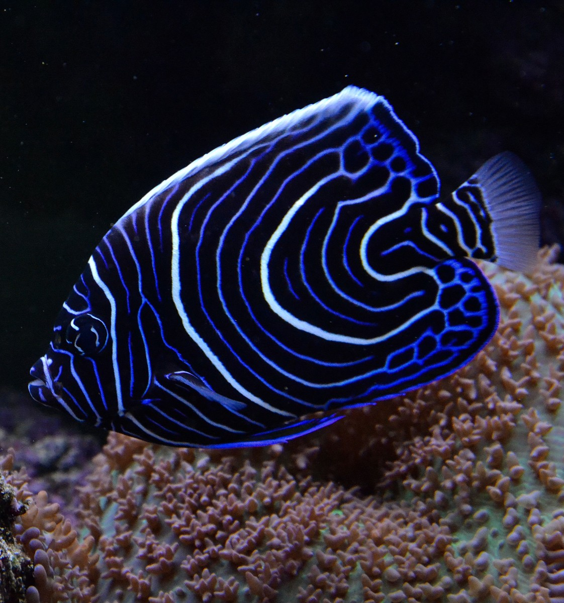 Top 10 Most Colorful And Beautiful Fish Mathias Sauer