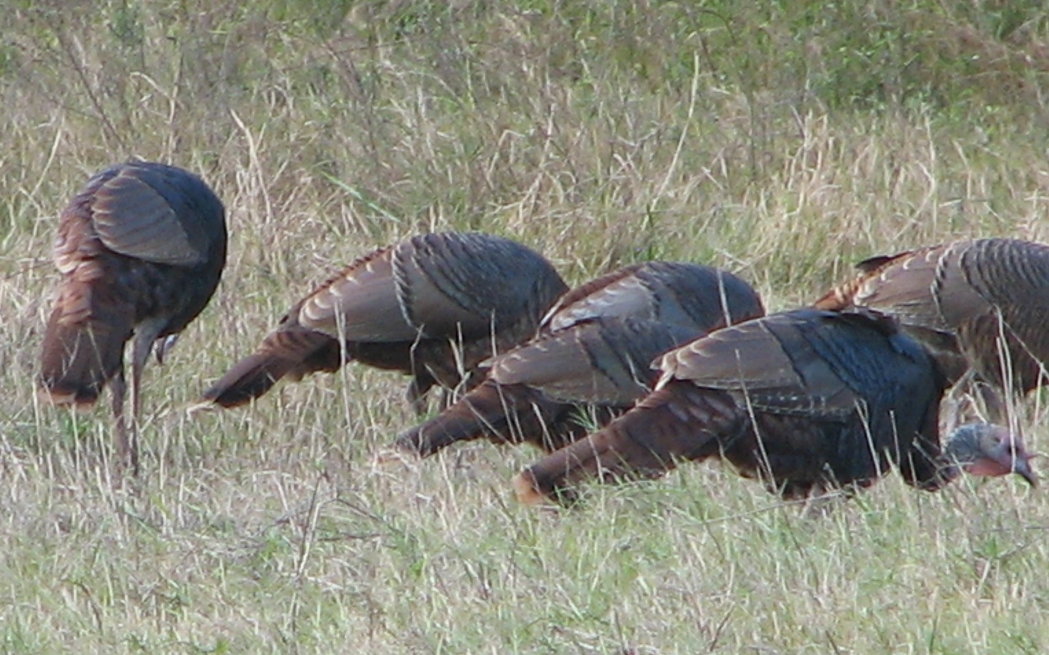 an analysis of the wild turkey the largest game bird in north america 20 fun facts about wild turkeys share the wild turkey is one of only two birds native to north america that has been regularly domesticated the wild turkey is the official game bird of alabama, massachusetts and south carolina.