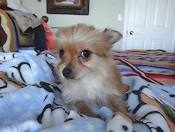 Yorkie-Chihuahua