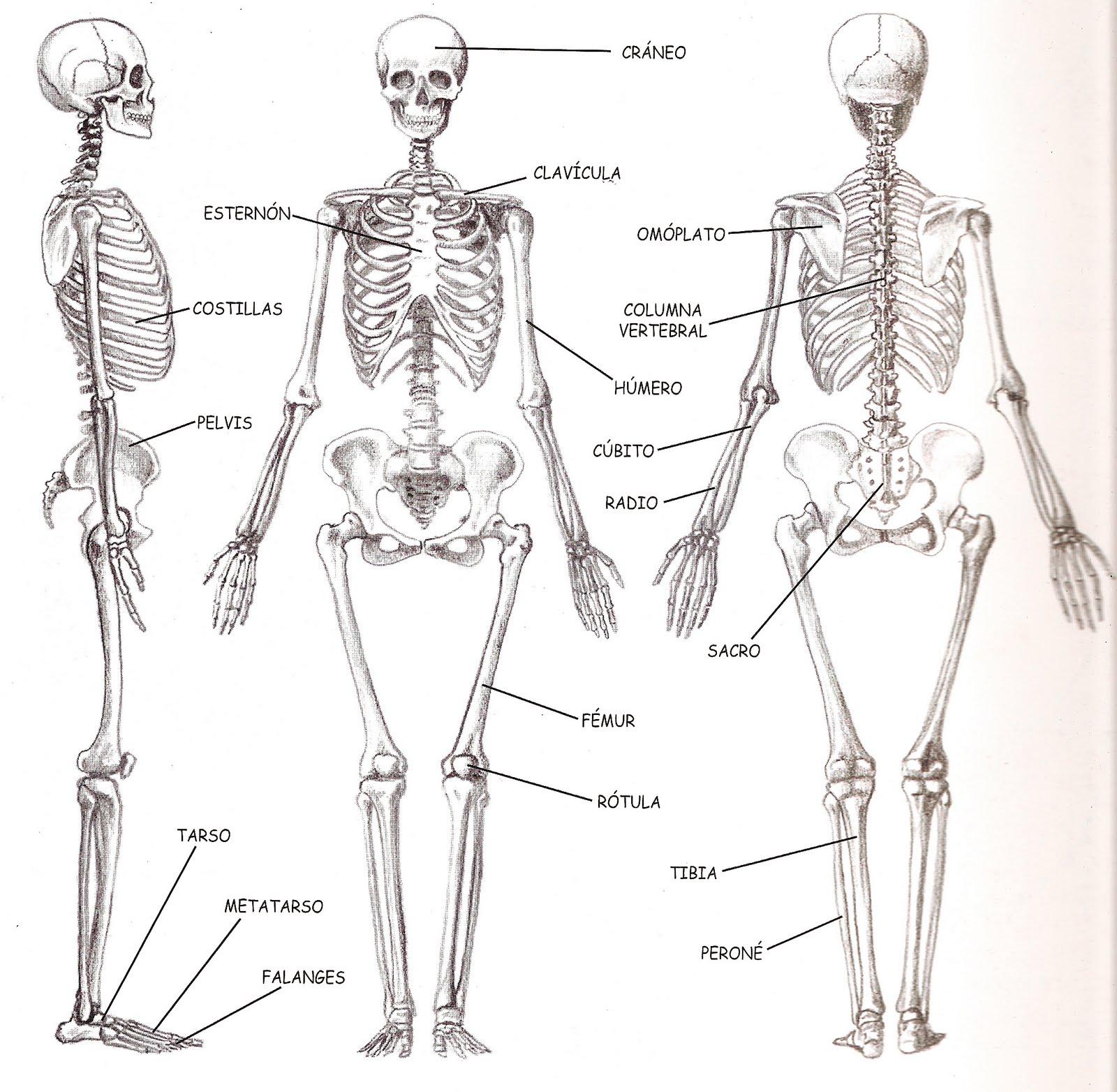 El Cuerpo Humano: Los huesos del cuerpo humano