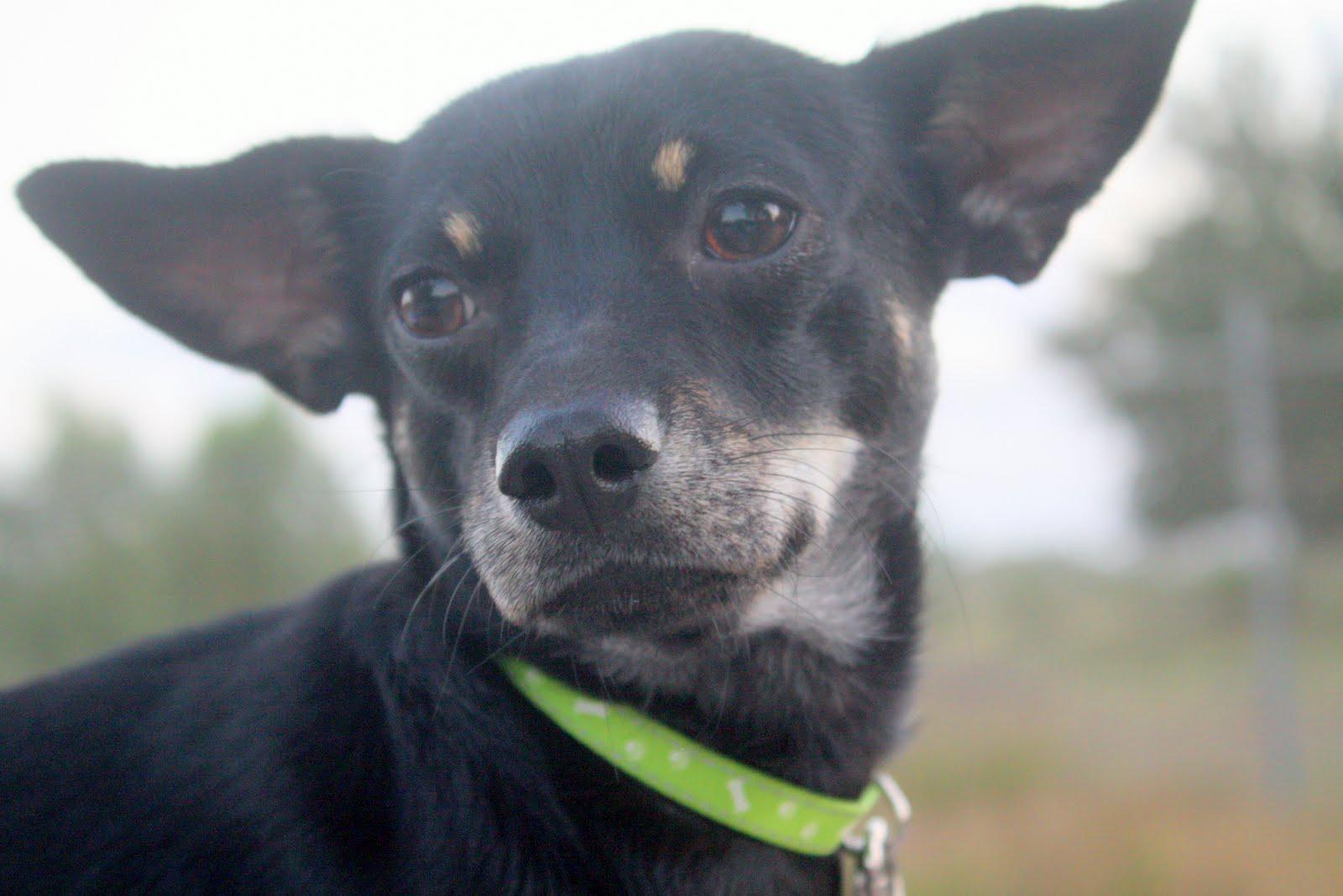 ... chihuahua rescue houston tx breed chihuahua mixed breeders california