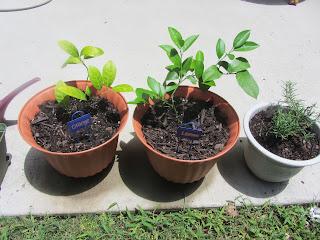 Gardening with Bobbins of Basil | bobbinsofbasil.blogspot.com