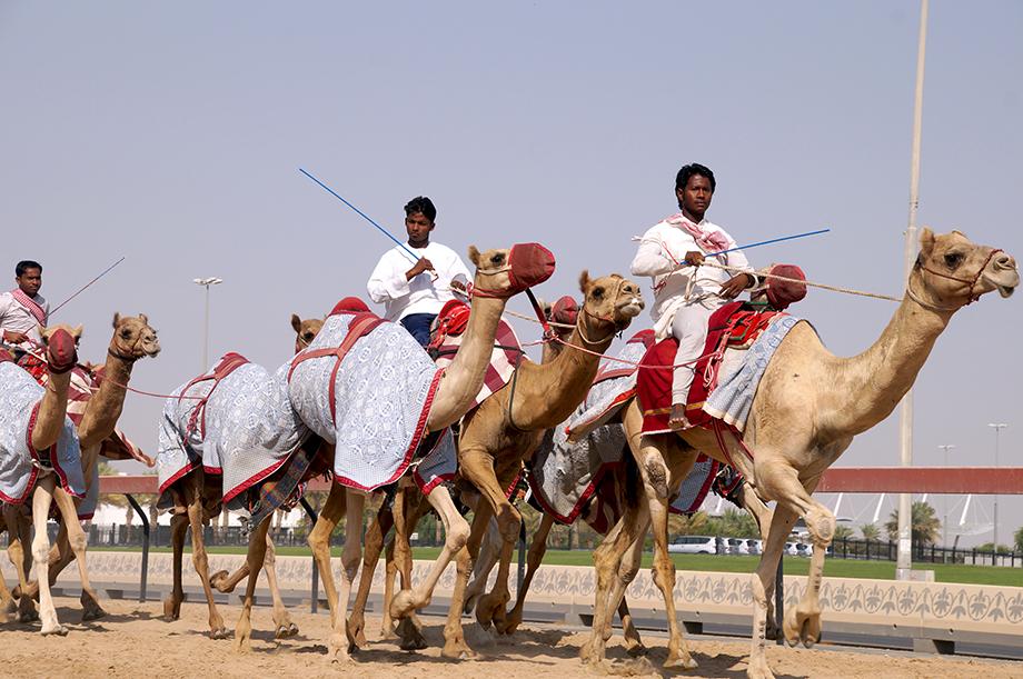 Ynas Reise BLog | VAE | Kamelrennbahn, Kamel beim Training
